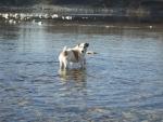 cane in mezzo all'acqua,cane che fa il bagno in fattoria,cane che nuota nel fiume nello stagno della fattoria