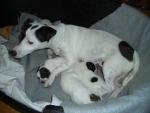 piccoli cagnolini che bevono il latte attaccati alla mammella,cuccioli di cane in fattoria didattica per bambini