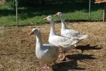 gruppo di oche nel pollaio della fattoria,oche bianche con lungo collo in una fattoria didattica