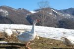 oca tra la neve,oca nel laghetto della fattoria didattica,percorso didattico con le oche in fattoria