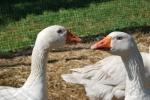 oca bianca in una fattoria didattica,oca dal piumaggio bianco con lungo collo,oca con piumino morbido della fattoria