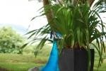 primo piano di un pavone della fattoria didattica,pavone con ruota di penne e piume colorate in fattoria