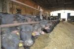 stalla di bufale,mangiatoia delle bufale in fattoria,bufalotti in fattoria delle bufale,bufali al pascolo in fattoria