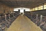 fattoria delle bufale,fattoria con bufale sul prato dell'azienda agricola,bufali in stalla,fattoria didattica con bufale