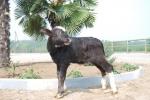 vitello di bufalo in fattoria,vitello di bufala in stalla,vitellini delle bufale nella fattoria bufale e bufali