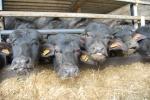 piccoli di bufala in stalla,piccoli di bufalo dell'azienda agricola durante la mungitura delle bufale per ottenere latte di bufala