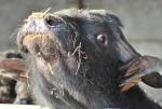 bufala con latte di bufala per fare mozzarelle di bufala,buffalo days in fattoria,bufalo maschio in fattoria