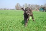 vitello di bufala della fattoria sul prato,mungitura bufale per un latte alta qualità di bufala,bufalino in fattoria didattica per bambini
