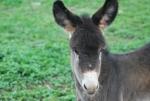 asino in fattoria didattica,asinello della fattoria sul prato,piccolo asino della fattoria didattica,asinello dalle lunghe orecchie