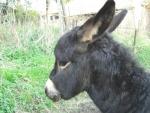 asinello che corre sul prato della fattoria,educazione ambientale con asini in fattoria didattica,ciuccio asino in fattoria