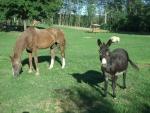 asino miglior amico dell'uomo,asino con cavallo in fattoria,asinello animale da compagnia per cavalli in fattoria,asino e cavallo sul prato in fattoria che brucano l'erba