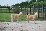 pecore tosate in fattoria,tosatura delle pecore per ottenere la lana,pecore senza pelo tosate in fattoria didattica