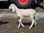 agnello in fattoria,agnellino con gregge di pecore,agnello piccolo della pecora beve il latte da mamma pecora