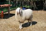 pecora adulta femmina con lungo pelo lana,pecora maschio ariete o montone nel gregge,gruppo di pecore in una fattoria didattica per bambini