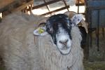 montone maschio della pecora,ariete maschio della pecora,montone con folto pelo,ariete con lunghe corna prima della tosatura