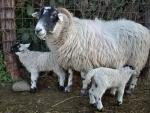 mamma pecora con piccoli agnelli,pecore nell'ovile della fattoria,agnelli bevono il colostro da mamma pecora