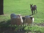 pecore al pascolo con asinello,gregge di pecore sul prato della fattoria didattica,percorso didattico sulle pecore in fattoria