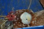gallina che cova le uova con pulcini appena nati,pulcino piccolo della gallina nel pollaio della fattoria