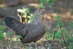 gallina dalle penne grigie,americanella piccola gallina della fattoria,fattoria didattica con galline e pollastre