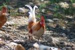 galletto della fattoria,fattoria didattica con galli e galletti nel pollaio,gallo colorato con cresta rossa,pollastro della fattoria