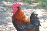 gallo dalle piume e penne colorate nel cortile della fattoria,gallo colorato che mangia semi mais e piccoli vermetti