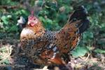 educazione ambientale con percorsi didattici sulle galline in fattoria,galline piccola con piccole uova e piccoli pulcini
