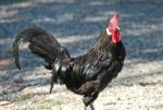 stupendo galletto nero,bellissimo gallo tutto nero in fattoria,gallo nero con cresta rossa e bargigli rossi,gallo nero in fattoria