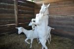 capra razza saanen in fattoria,capra saanen becco che combatte,capra francese in fattoria didattica con becco maschio della capra