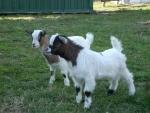 caprette tibetane in fattoria,capra razza tibetana in fattoria didattica,piccola capra tibetana molto docile della fattoria