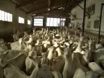 gregge di capre in fattoria,gregge di capre con pastore e cane da pastore,gruppo o gregge di capre in stalla