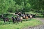gregge di capre in montagna,gregge di capre libero di pascolare in montagna e collina pronte per essere munte