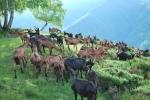 transumanza delle capre,gregge di capre in transumanza dalla montagna alla stalla,percorso didattico con capre in fattoria didattica
