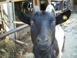 capra con capretto in fattoria,capretta con barbetta in fattoria,capra con mammella produrre ottimo latte di capra alta qualità