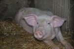 maiale in fattoria didattica,verro maschio del maiale,scrofa femmina del maiale,maiale grasso nel porcile della fattoria