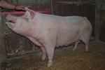 percorso didattico con maiali in fattoria per bambini,maiale rosa nella porcilaia della fattoria,grugnito verso del maiale