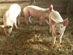 maiale della fattoria con setole e corta coda a ricciolino,maiale animale onnivoro della fattoria vive nel porcile e dorme sulla paglia
