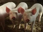tre maialini della fattoria,tre porcellini della fattoria,porco della fattoria didattica,porcello suino sul prato della fattoria