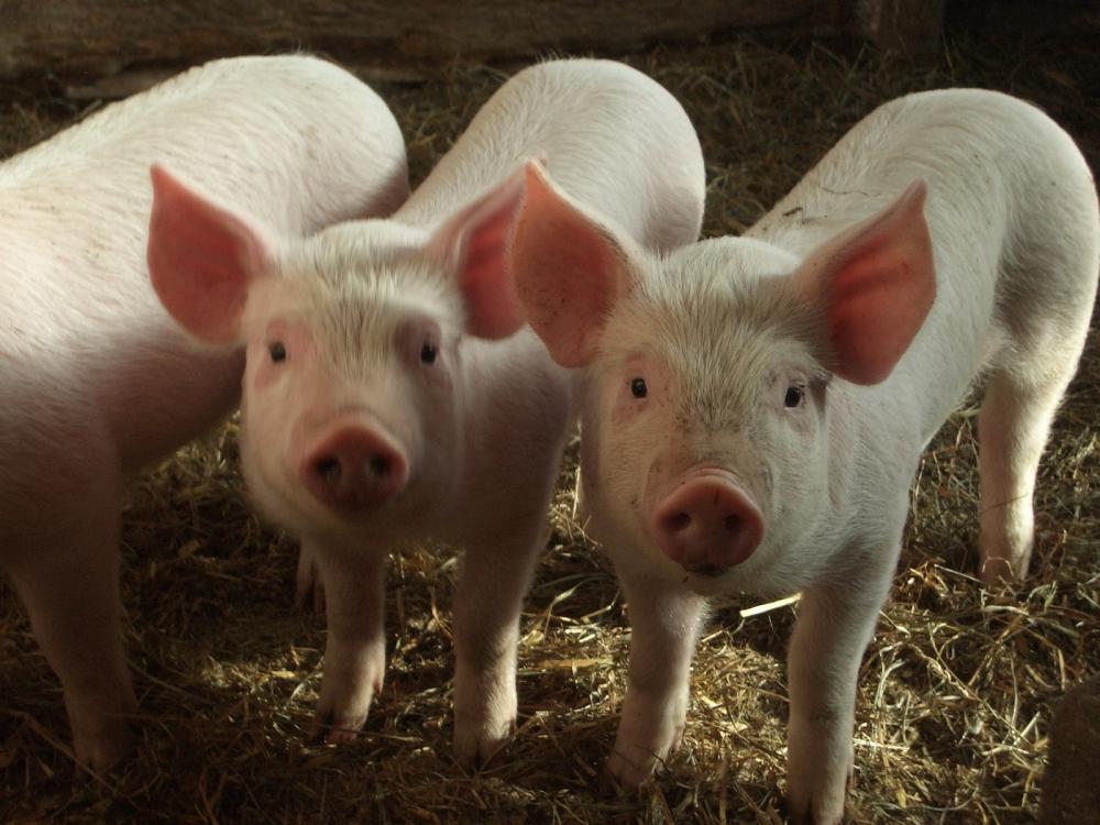 Fattoria con maiali maiali in fattoria didattica scrofa e for Foto di fattoria moderna