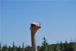 struzzo dal lungo collo in fattoria,struzzo uccello con lunghe zampe e due unghioni,struzzo maschio col becco rosso