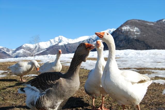 Fattoria didattica con oche papere in fattoria didattica for Animali laghetto