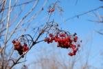 frutti di viburno viburnum opalus,frutti di viburno molto appetiti dagli uccelli della fattoria didattica,piccoli frutti selvatici del bosco e della siepe selvatica