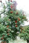 sorbo degli uccellatori pianta dai frutti rossi,frutti di sorbo in fattoria mangiati dagli uccelli,fattoria didattica con sorbo montano e degli uccellatori