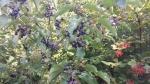 cornus sanguinea viburnum opalus arbusti della fattoria,corniole e bacche nella siepe della fattoria didattica