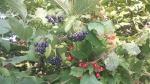bacche di corniolo nere e bacche di viburno rosse,bacche sugli arbusti di viburno e corniolo sanguinello