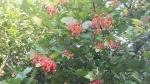 bacche di viburnum opulus viburno della fattoria didattica.bacche rosse di viburno nel cespuglio della fattoria