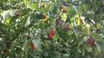 corniole bacche rosse di corniolo cornus mas nei cespugli della fattoria nutrimento per uccelli e piccoli animali selvatici