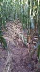campo di cereali campo di mais o granoturco danneggiato dal passaggio di cervi,campo di mais calpestato da cervi