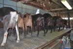 capre pronte per essere munte mammella di capra piena di latte fresco,percorso didattico sul latte di capra in fattoria