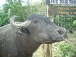 bufalo di razza river,bufalo river con corna diverse rispetto alla razza mediterranea,bufalo dell'acqua molto mansueto rispetto alla razza mediterranea