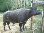 bufala bufalo razza river bufalo dell'india,bufalo con piccole corna